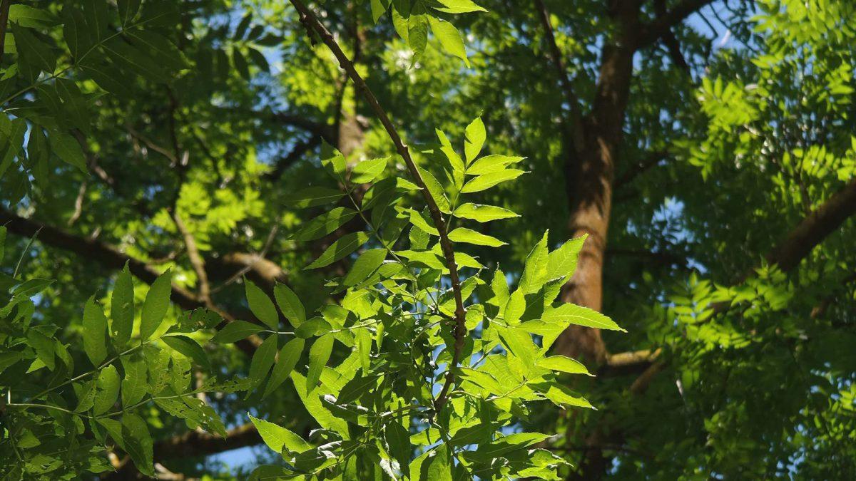 Vehrean saarnipuun upeat lehdet auringossa